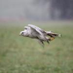 """Domenica a Cagli torna """"A Caccia col Falco"""""""