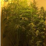 Trentasettenne di Jesi arrestato per coltivazione e detenzione di marijuana