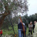 SENIGALLIA / Alla Festa dell'Olio Nuovo di Scapezzano torna il corso di potatura degli ulivi