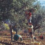 SENIGALLIA / Il valore dell'olio nel nostro territorio, se ne parla domenica al Museo della Mezzadria