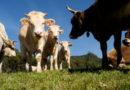 Gli alunni delle scuole medie di Monte San Vito lanciano il web per adottare mucche e pecore terremotate