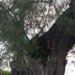 SENIGALLIA / Avviata la rimozione delle vecchie tamerici del Lungomare Alighieri