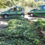 Un campo di Cannabis scoperto dai Carabinieri forestali alla periferia di Fossombrone