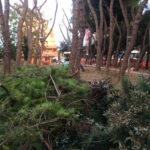 """I Giovani democratici di Senigallia sul taglio dei pini in via Bonopera: """"Concordiamo con il progetto che l'Amministrazione comunale sta portando avanti"""""""