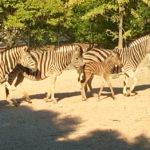 La CR7 mania contagia anche il Parco Zoo di Falconara: al cucciolo di zebra dato il nome di Cristiano